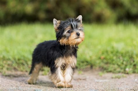 What is Legg Calve Perthes Disease in Dogs ?   Pets4Homes