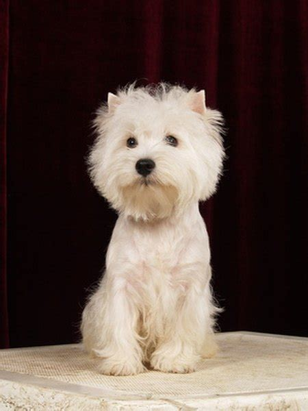 Facts About Westie Puppies - Pets