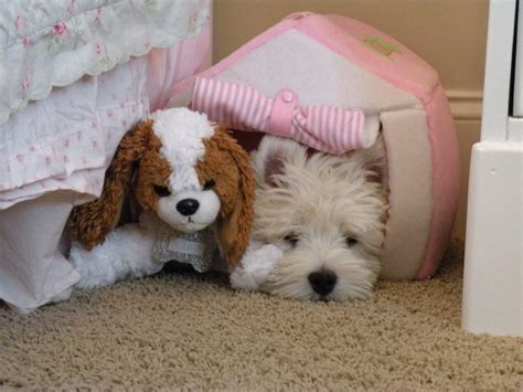 SNOWESTI - All Westie puppies are cute and adorable