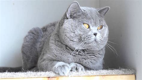 One year old male British tom cat, cattery Fantasy Avalon