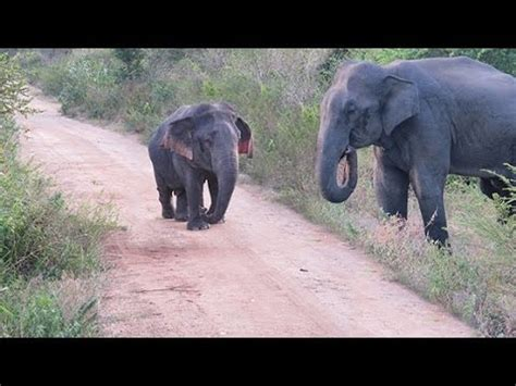 DWARF ELEPHANT SEEN FOR FIRST TIME - YouTube